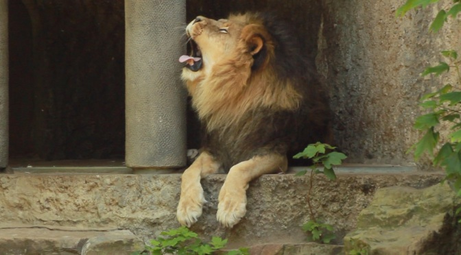 slow tv lion yawn